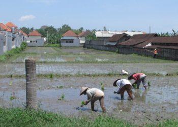 Petani menggarap sawah di antara bangunan di Desa Kediri, Kecamatan Kediri Tabanan. #Foto; koleksi penulis