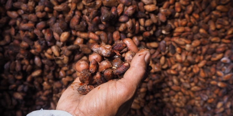 Petani kakao di Jembrana/ Foto: Balebengong