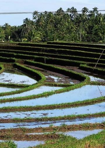 Persawahan di wilayah Selemadeg Tabanan (Foto: Mursal Buyung)