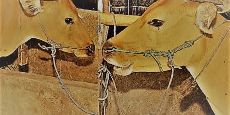 Sapi di Nusa Penida