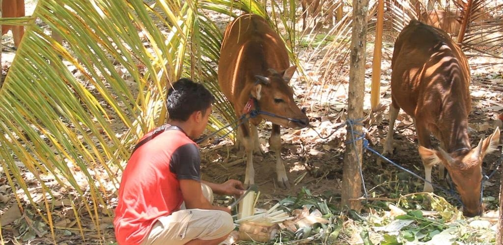 Sapi yang ikut diungksikan di Desa Les, Buleleng akibat aktivitas Gunung Agung yang bersatus Awas