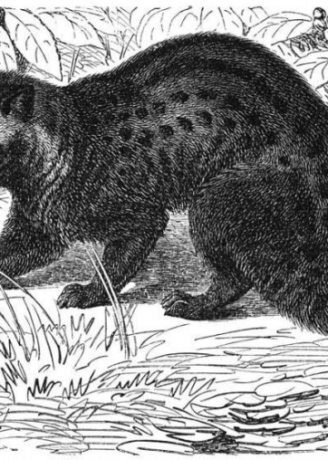 Lubak/luwak. (Gambar diambil dari Wikipedia)