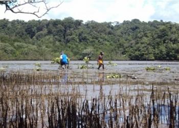 Penanaman pohon mangrove saat air laut meti (surut). (foto: I Ngurah Suryawan)