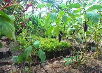 Gambar Permakultur Taman Baca Kesiman. Terong merupakan tanaman bernutrisi kaya serat yang cocok ditanam di Denpasar.
