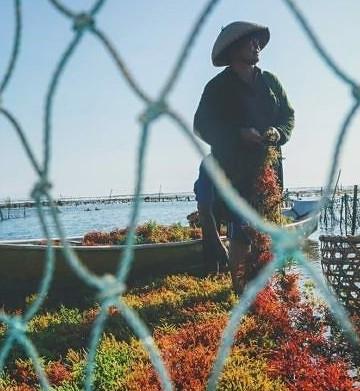 Petani Rumput Laut di Nusa Penida. Sumber Foto: balipost.com